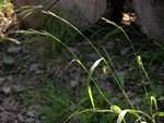 Slender False-brome (Brachypodium sylvaticum)