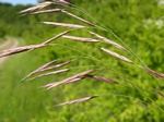 Upright Brome (Bromopsis erecta)