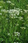 Great Pignut (Bunium bulbocastanum)