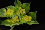Thorow-Wax (Bupleurum rotundifolium)