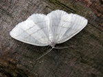 Common White Wave (Cabera pusaria)