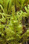 Giant Spear-moss (Calliergon giganteum)