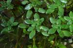 Various-Leaved Water-Starwort (Callitriche platycarpa)