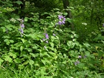 Giant Bellflower, Great Bellflower (Campanula latifolia)