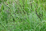 Slender Tufted-Sedge - Acute Sedge (Carex acuta)