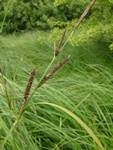 Lesser Pond-Sedge (Carex acutiformis)