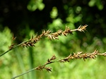 Gingerbread Sedge (Carex elongata)