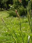 Hairy Sedge (Carex hirta)