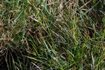 Tawny Sedge (Carex hostiana)