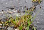 Close-Headed Alpine-Sedge (Carex norvegica)