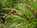 Greater Tussock-Sedge - Panicled Sedge - (Carex paniculata)