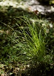 Remote Sedge (Carex remota)