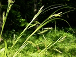 Wood Sedge (Carex sylvatica)