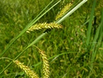 Bladder-Sedge (Carex vesicaria)