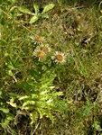 Carline Thistle (Carlina vulgaris)