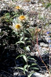 Carlina vulgaris ssp. stricta