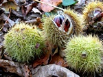 Sweet Chestnut, Spanish Chest. (Castanea sativa)