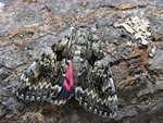 Light Crimson Underwing (Catocala promissa)