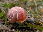 Brown Lipped Snail (Cepaea nemoralis)