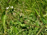 Common Mouse-Ear (Cerastium fontanum ssp. vulgare)
