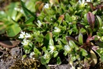 Little Mouse-ear (Cerastium semidecandrum)