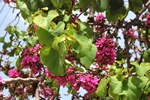 Judas tree (Cercis siliquastrum)