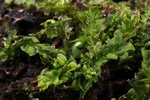 Variable-leaved Crestwort (Chiloscyphus profundus)