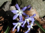 Glory-Of-The-Snows (Chionodoxa forbesii)