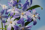 Boissier´S Glory-Of-The-Snow (Chionodoxa luciliae)
