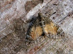 Common Marbled Carpet (Chloroclysta truncata)