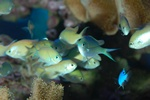 Blue green damselfish (Chromis viridis)