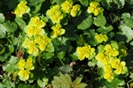 Alternate-leaved Golden Saxifrage (Chrysosplénium alternifólium)