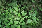 Upland Enchanter´s Nightshade (Circaea intermedia)