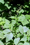Enchanter´s Nightshade (Circaea lutetiana)