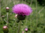 Melancholy Thistle (Cirsium helenioides)