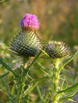Spear Thistle (Cirsium vulgare)
