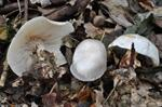 Frosty Funnel (Clitocybe phyllophila)