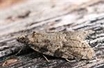 Light Grey Tortrix (Cnephasia incertana)