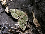 Green Carpet (Colostygia pectinataria)