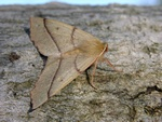Feathered Thorn (Colotois pennaria)