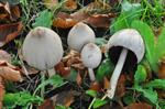 Common Ink Cap (Coprinopsis atramentaria)