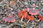 Bloodred Webcap (Cortinarius sanguineus)