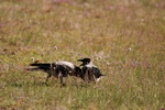Hooded Crow (Corvus corone cornix)