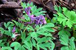 Small Corydalis (Corydalis intermedia)
