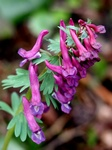 Bird-In-A-Bush (Corydalis solida)