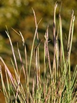 Grey Hair-Grass (Corynephorus canescens)