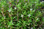 New Zealand Pigmyweed (Crassula helmsii)
