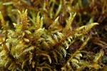 Fern-leaved Hook-moss (Cratoneuron filicinum)