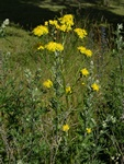Rough Hawk´s-Beard (Crepis biennis)