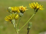 Smooth Hawk´s Beard (Crepis capillaris)